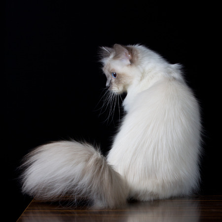 longhair: Gray white longhair cat with blue eyes