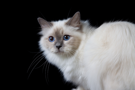 pet photography: Gray white longhair cat with blue eyes