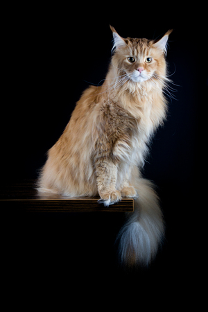 longhair: Longhair brown cat looking in camera Stock Photo