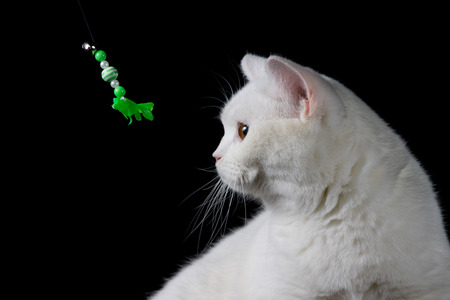 pet photography: White cat playing with toy