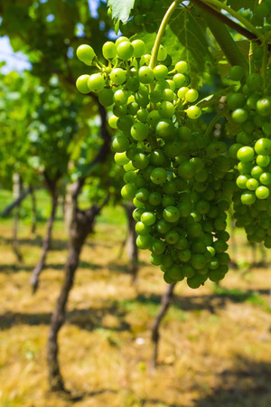 Green grapes in ripening phase Stock Photo