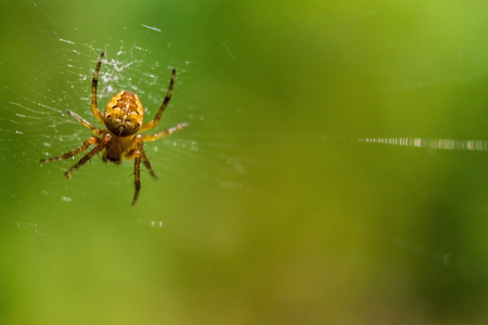 Spider and his pray on a green background