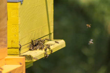 Bees in yellow bee hive on a sunny day