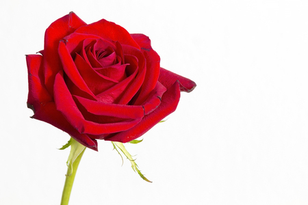 Red rose flower on a white background