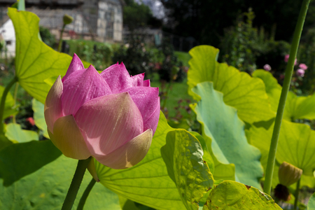 Lotus flower in a botanical garden on a sunny day Stock Photo