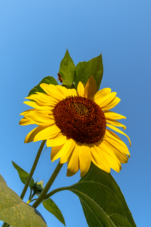Sunflower on a blue sky and sunny day
