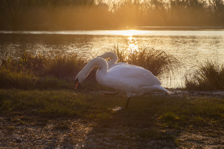 Swans at sunrise by the lake in Zagreb