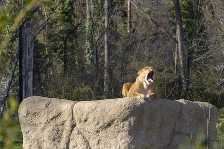 Female lion resting on a rock in a zoo Stock Photo
