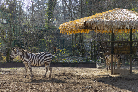 Zebra in a Zagreb city zoo in Croatia