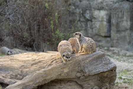 Meerkats in a zoo in Zagreb Croatia Stock Photo
