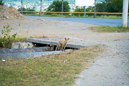 Wild fox in the city