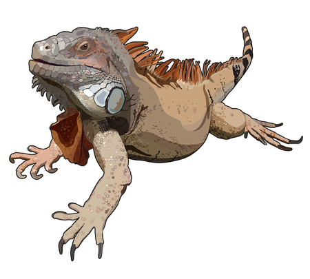 Lizard iguana on a white background. Vector illustration.