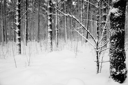 Winter forest with trees in the snow. Photo white and black