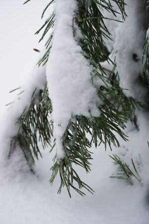 Branches of pine tree with snow. Morning in the countryside. Photo