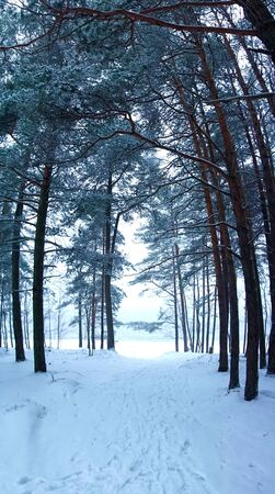Winter forest with trees in the snow. Photo