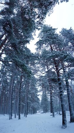 Winter forest, white trees. Photo Stockfoto