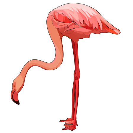 Pink flamingo, vector illustration