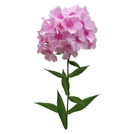Vector illustration of pink phlox. Hydrangea.