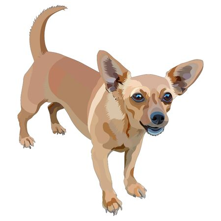 Portrait of small dog of a smooth-haired and large-eyed. Chihuahua. Vector, EPS10 Stock Illustratie