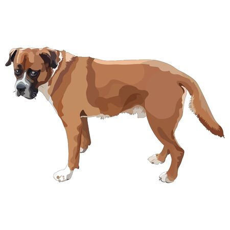 Illustration of dog-boxer. Vector, EPS10