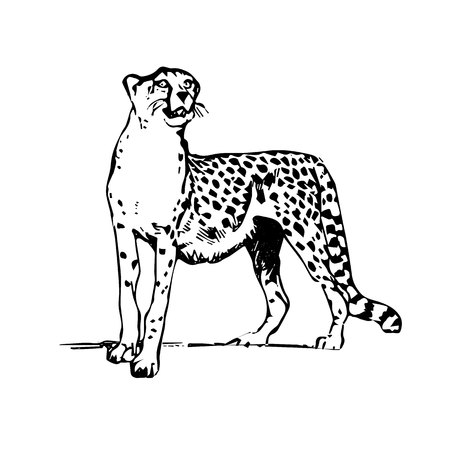 Silhouette drawing leopard, on white background.vector