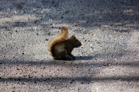 banff: A wild squirrel is standstill on gravel floor at Banff National Park.