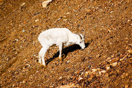 rocky mountain bighorn sheep: A young dall sheep is climbing on the rocky slope at Denali National Park in Alaska.