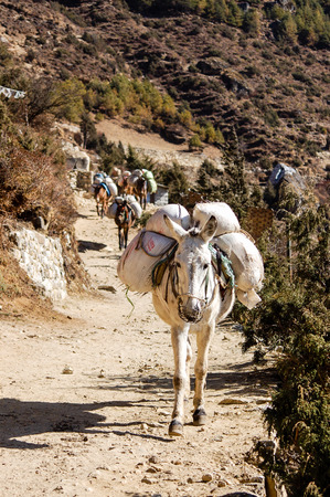 Mule caravan carrying stuffs has been seen along the everest base camp trekking route in Nepal. Stock Photo