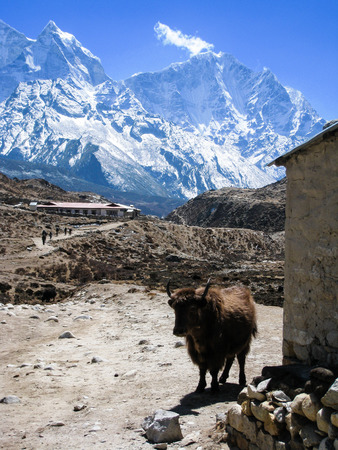A brown yak is standing beside a stone barn in Periche village on the everest base camp trekking route with high snow mountains in background on a blue sky day.