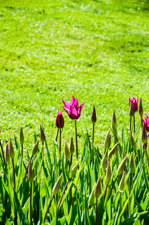 tulips in green grass: Pink tulips are outstanding from green of foliage and grass in sunshine of springtime at Keukenhof in Netherlands.