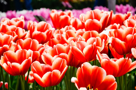 contrast floral: Blooming vibrant red tulips and pink tulips on blurry background in springtime at Keukenhof in Netherlands. Stock Photo