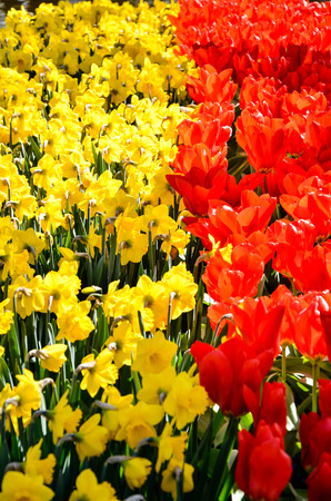 contrast floral: Blooming vibrant red tulips contrast with bright yellow daffodils and green foliage in sunshine of springtime at Keukenhof in Netherlands. Stock Photo