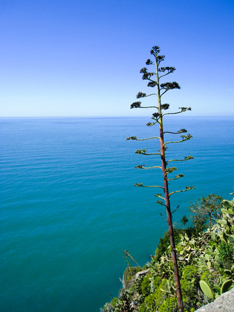 An outstanding tree at viewpoint in Corniglia, a fisherman village of Cinque Terre in Italy, overlooking the bright turquoise Ligurian sea and faraway horizon in blue sky on sunny day.