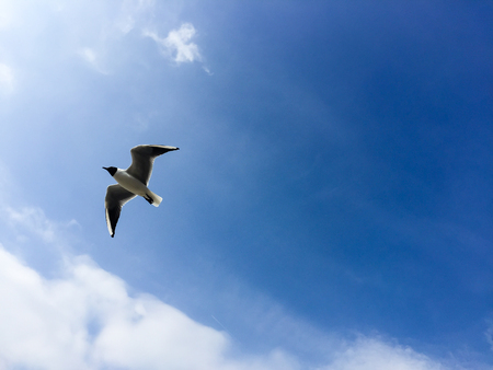 Flying black headed gull with white cloud and bright blue sky on sunshine day at Bowness on Windermere in Lake District National Park, England in horizontal view. Stock Photo