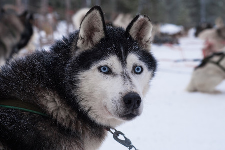 icy conditions: Husky dog with penetrating blue eyed gaze. Other dogs in harness in the background. Stock Photo