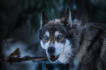 icy conditions: Husky dog with penetrating blue eyed gaze