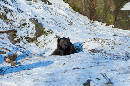 Brown bear (Ursus arctos) inspecting the surroundings of his den Banque d'images