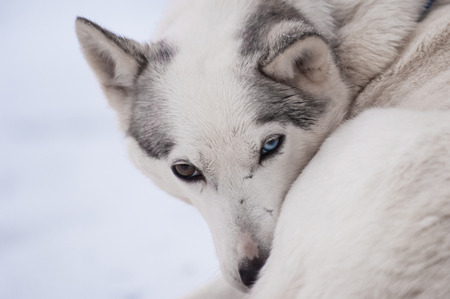 icy conditions: Husky with different colored eyes (heterochromia) Stock Photo
