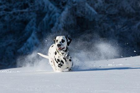 dalmatian: Dalmatian dog running and jumping in snow