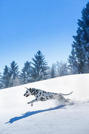 Dalmatian dog running and jumping in snow photo