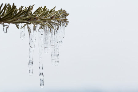 sleet: Isolated spruce branch with melting sleet Stock Photo