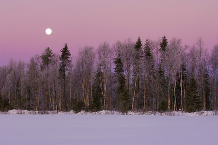 Winter forest with moon and purple sky photo