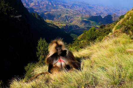 Gelada baboon sitting on top of the cliff in the Simien mountains