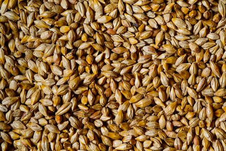 beer production: Close up of barley seeds for beer production
