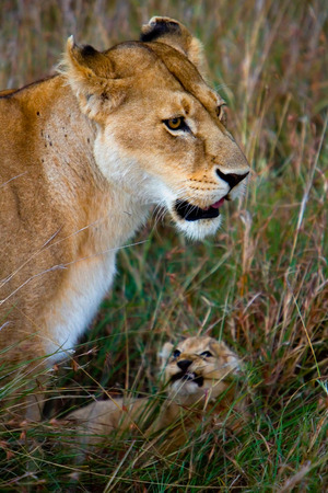 female lion: Lioness with her cub in african savannah