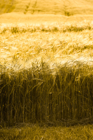 evening glow: Barley field in golden glow of evening sun