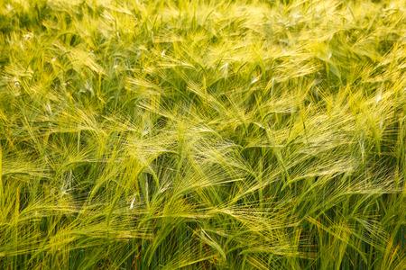 Green barley field in evening light photo