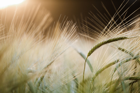evening glow: Barley field in glow of evening sun