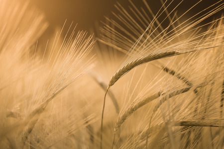 desaturated: Barley field in glow of evening sun