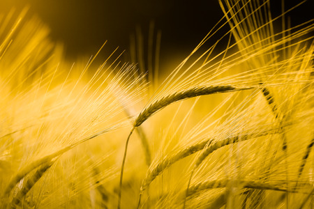 Barley field in golden glow of evening sun photo